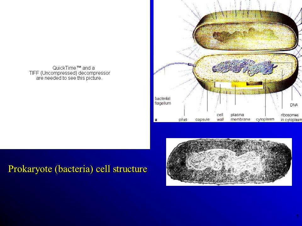 Prokaryote (bacteria) cell structure