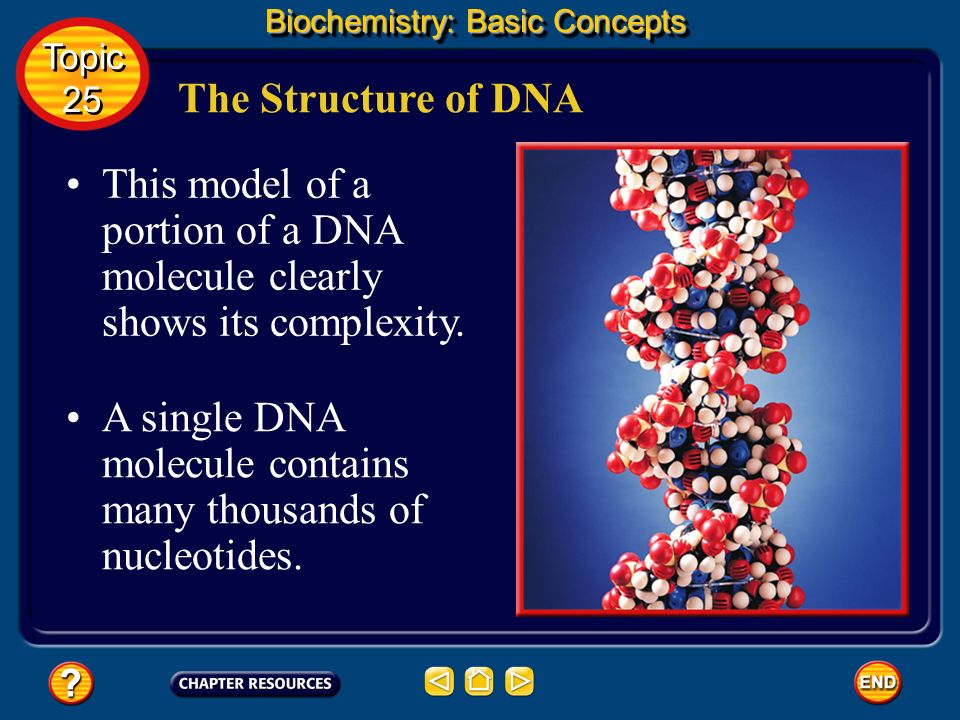A single DNA molecule contains many thousands of nucleotides.