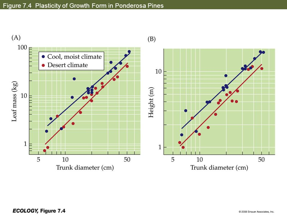 Figure 7.4 Plasticity of Growth Form in Ponderosa Pines