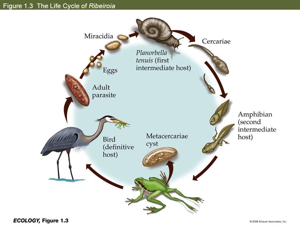 Figure 1.3 The Life Cycle of Ribeiroia