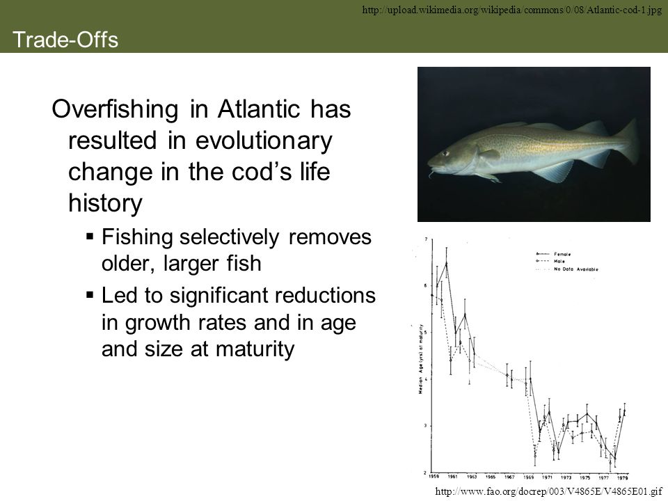http://upload. wikimedia. org/wikipedia/commons/0/08/Atlantic-cod-1