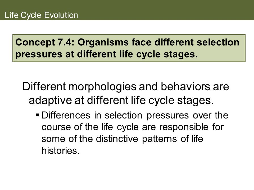 Life Cycle Evolution Concept 7.4: Organisms face different selection pressures at different life cycle stages.