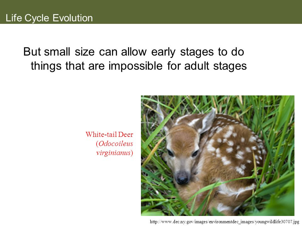 Life Cycle Evolution But small size can allow early stages to do things that are impossible for adult stages.