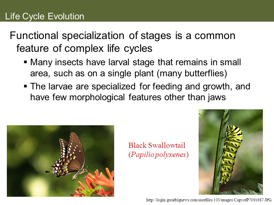 Life Cycle Evolution Functional specialization of stages is a common feature of complex life cycles.