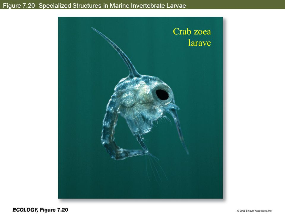 Figure 7.20 Specialized Structures in Marine Invertebrate Larvae