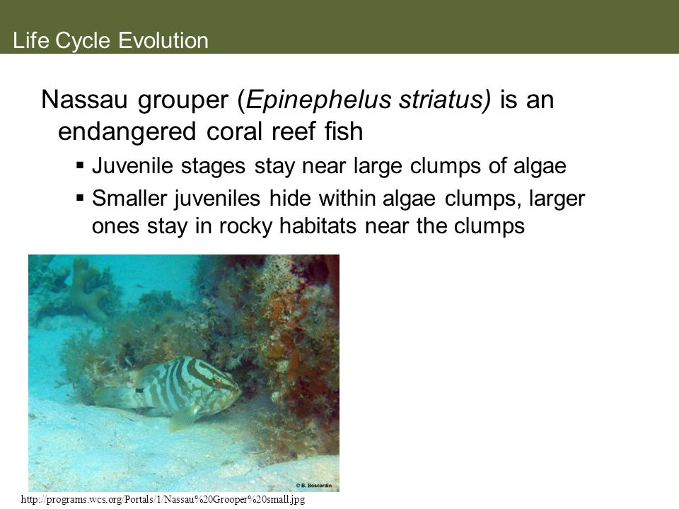 Nassau grouper (Epinephelus striatus) is an endangered coral reef fish