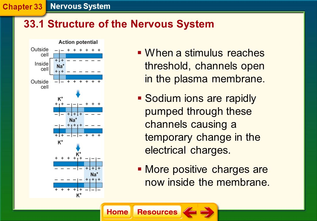 33.1 Structure of the Nervous System