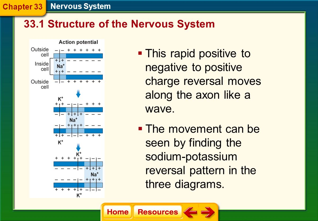 Chapter 33 Nervous System Structure of the Nervous System.