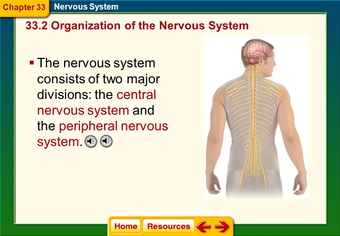 Chapter 33 Nervous System Organization of the Nervous System.
