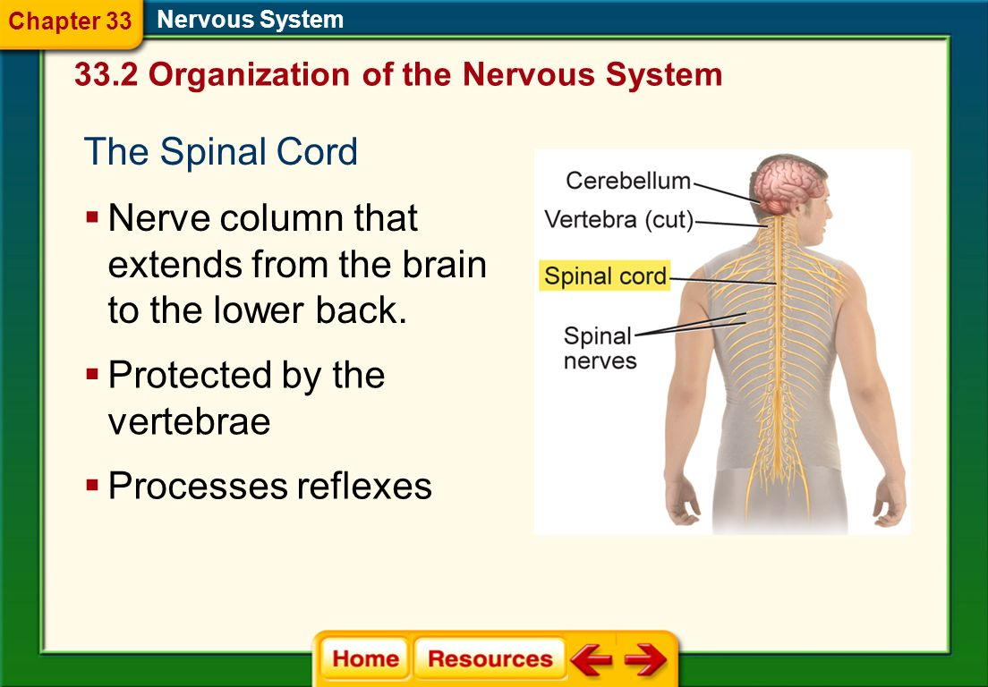 Nerve column that extends from the brain to the lower back.