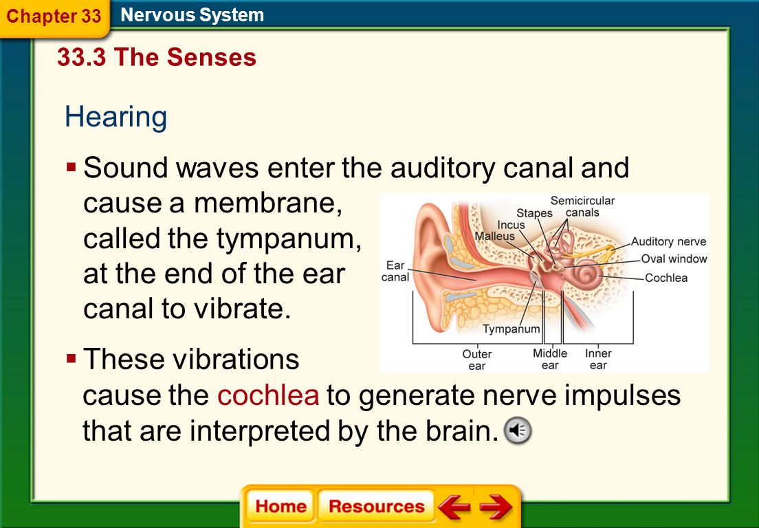 Sound waves enter the auditory canal and cause a membrane,