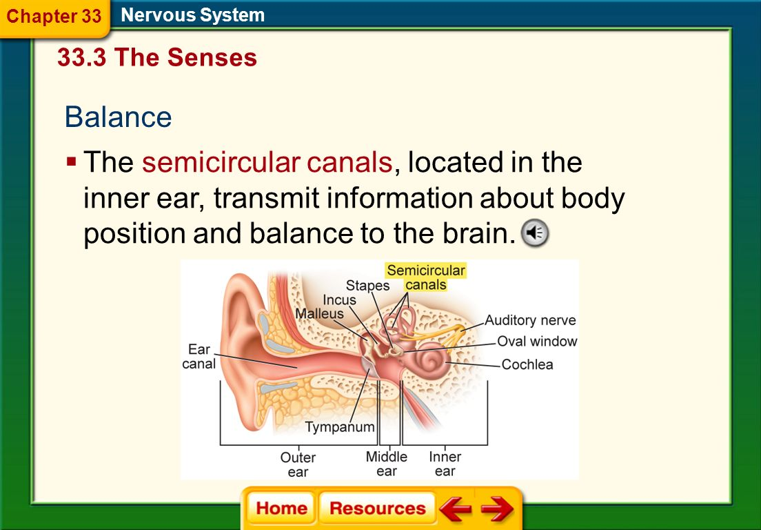Chapter 33 Nervous System. 33.3 The Senses. Balance.