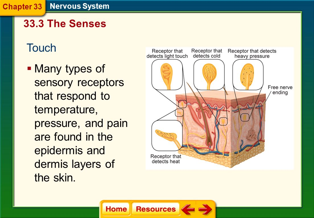 Chapter 33 Nervous System. 33.3 The Senses. Touch.