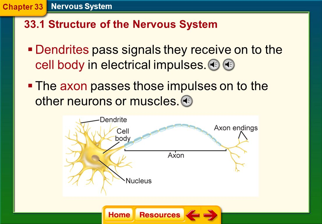 The axon passes those impulses on to the other neurons or muscles.