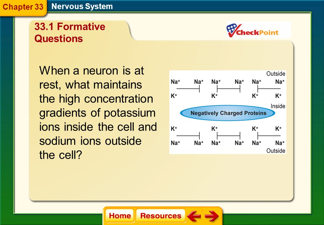 the high concentration gradients of potassium ions inside the cell and