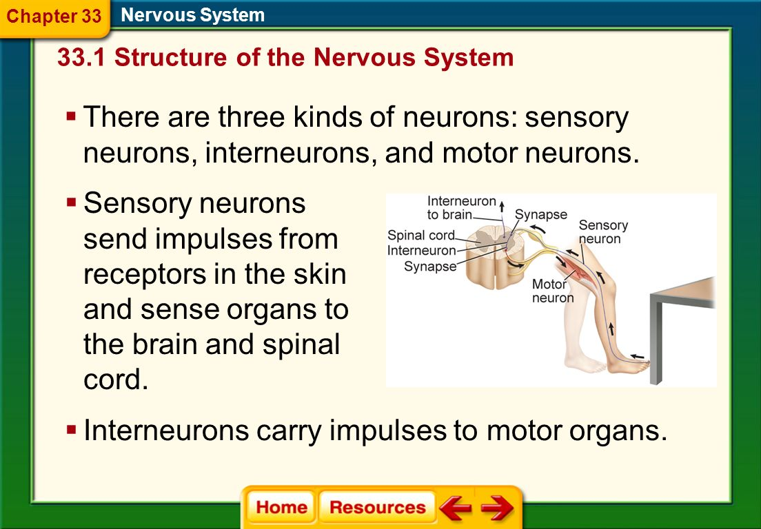 Interneurons carry impulses to motor organs.