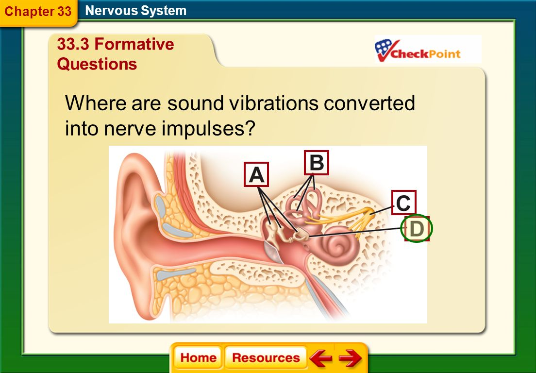 Where are sound vibrations converted into nerve impulses