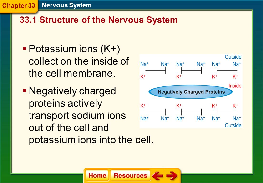 Potassium ions (K+) collect on the inside of the cell membrane.