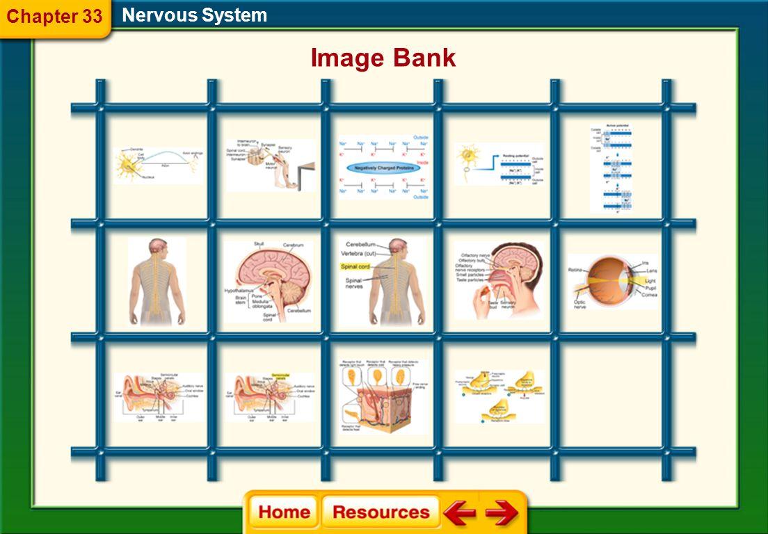 Chapter 33 Nervous System Image Bank