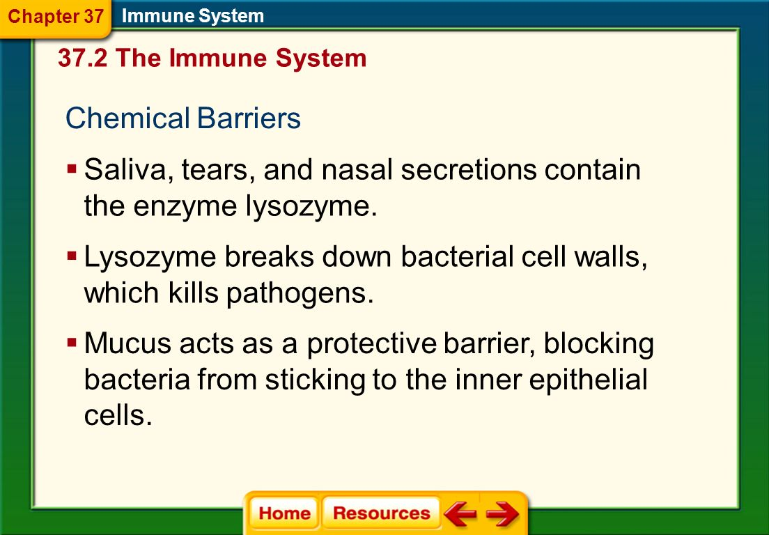 Saliva, tears, and nasal secretions contain the enzyme lysozyme.