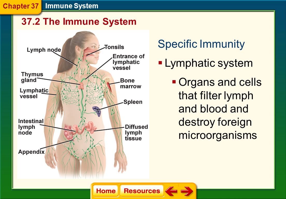 Specific Immunity Lymphatic system