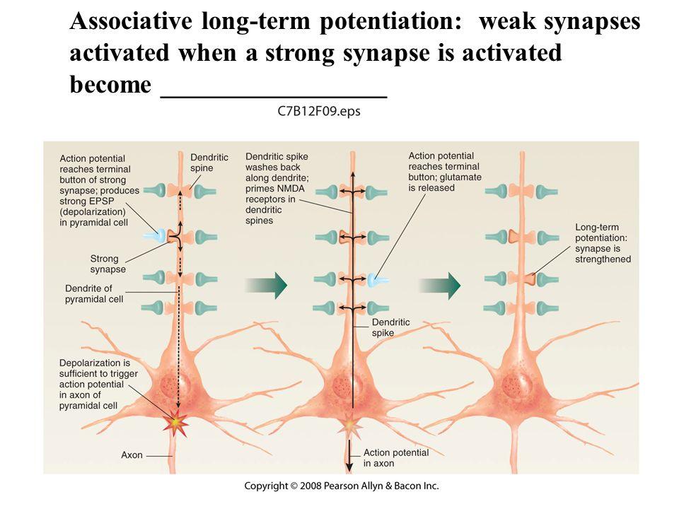 potentiel cognitif marqueur synaptique ppt