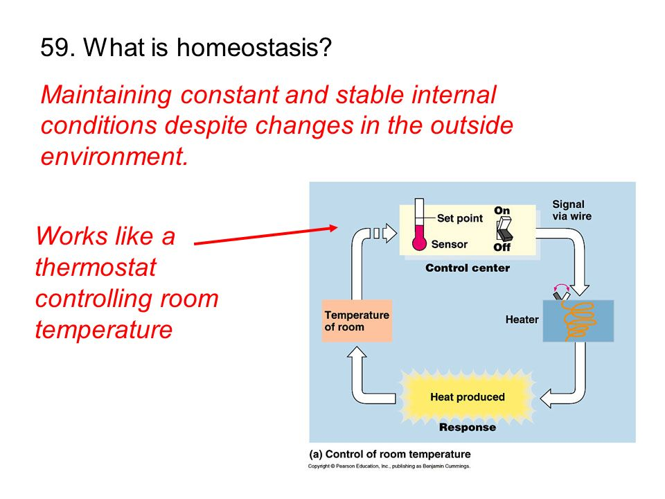 59. What is homeostasis Maintaining constant and stable internal conditions despite changes in the outside environment.