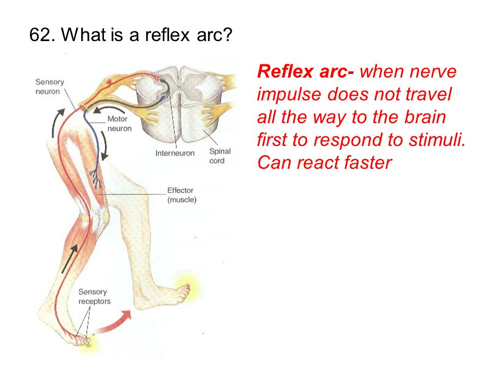 62. What is a reflex arc.