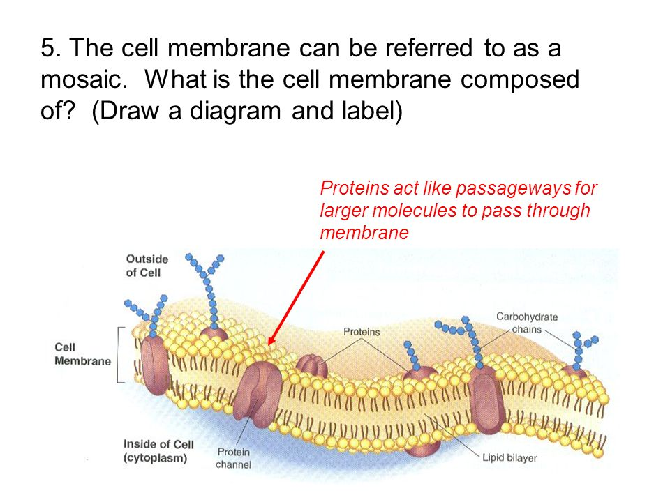 5. The cell membrane can be referred to as a mosaic