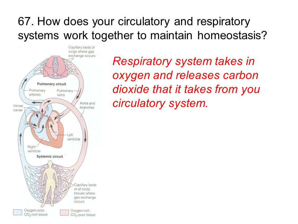 67. How does your circulatory and respiratory systems work together to maintain homeostasis
