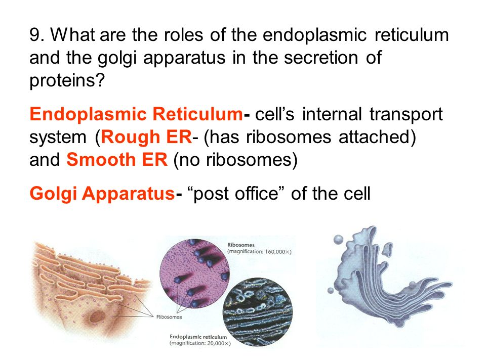 9. What are the roles of the endoplasmic reticulum and the golgi apparatus in the secretion of proteins