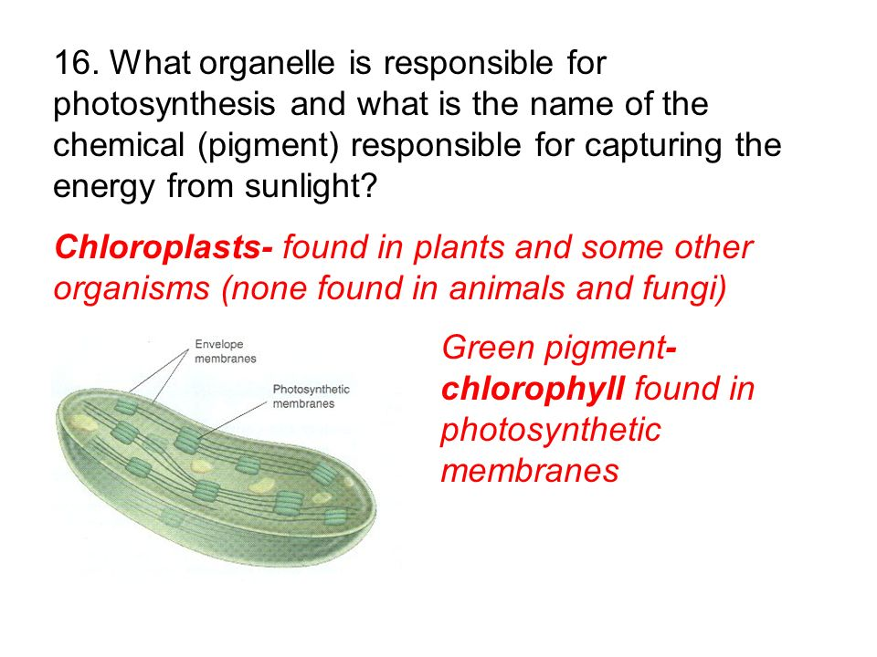 16. What organelle is responsible for photosynthesis and what is the name of the chemical (pigment) responsible for capturing the energy from sunlight