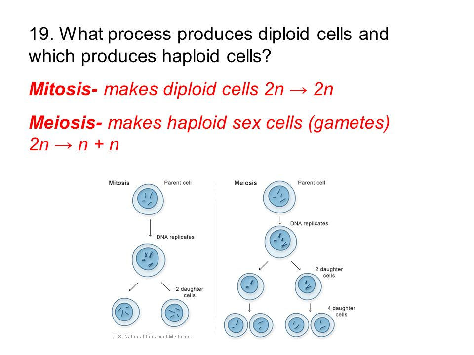 19. What process produces diploid cells and which produces haploid cells