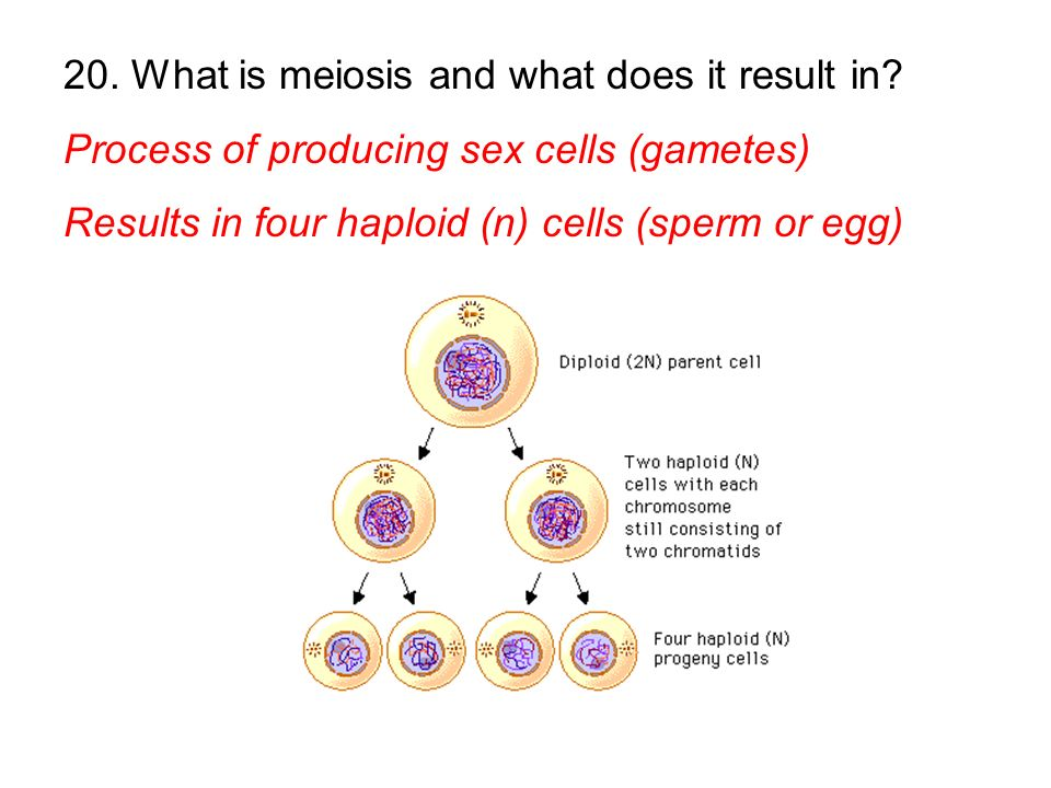 20. What is meiosis and what does it result in