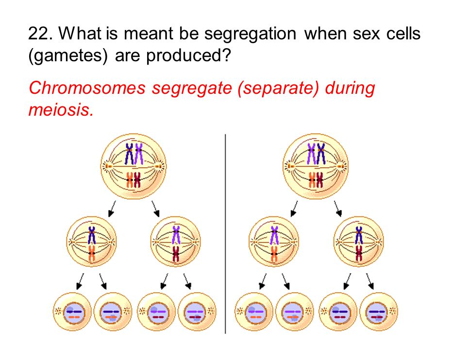 22. What is meant be segregation when sex cells (gametes) are produced