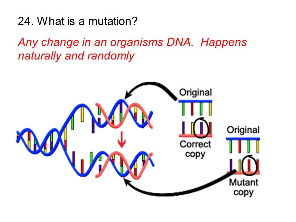 24. What is a mutation Any change in an organisms DNA. Happens naturally and randomly