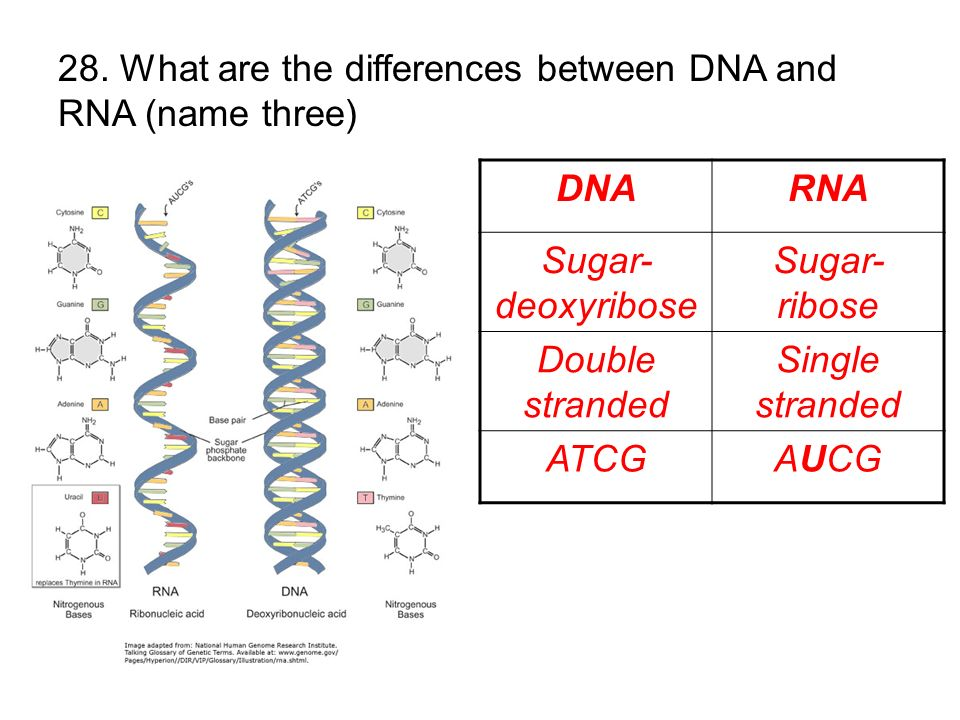 28. What are the differences between DNA and RNA (name three)