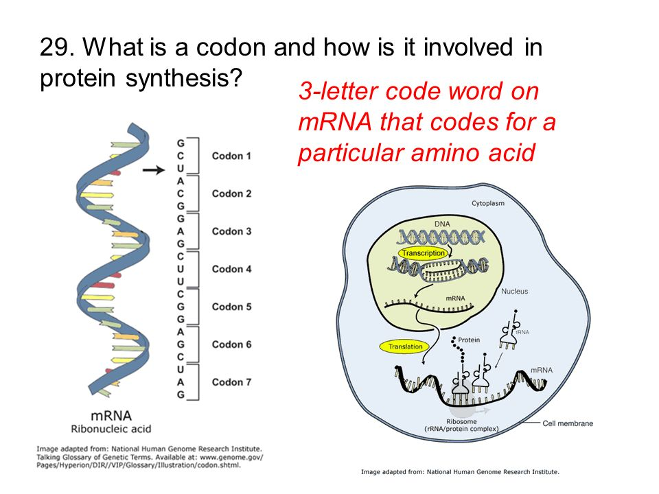 29. What is a codon and how is it involved in protein synthesis