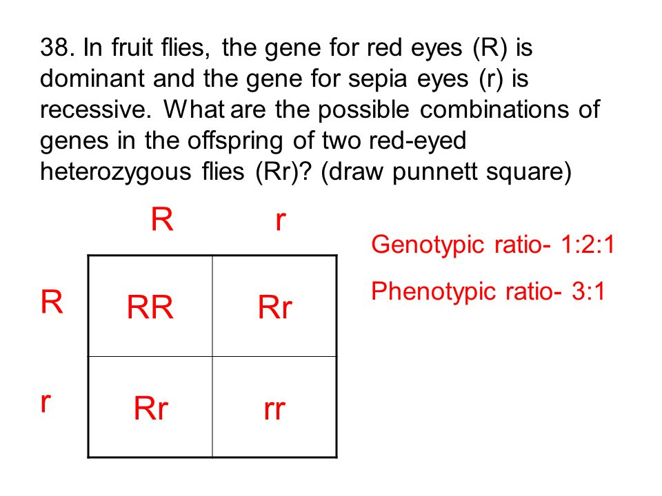 38. In fruit flies, the gene for red eyes (R) is dominant and the gene for sepia eyes (r) is recessive. What are the possible combinations of genes in the offspring of two red-eyed heterozygous flies (Rr) (draw punnett square)