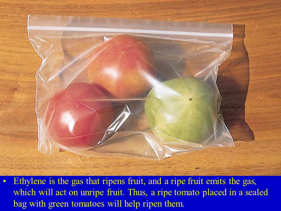 Ethylene is the gas that ripens fruit, and a ripe fruit emits the gas, which will act on unripe fruit.