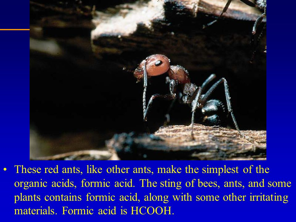 These red ants, like other ants, make the simplest of the organic acids, formic acid.