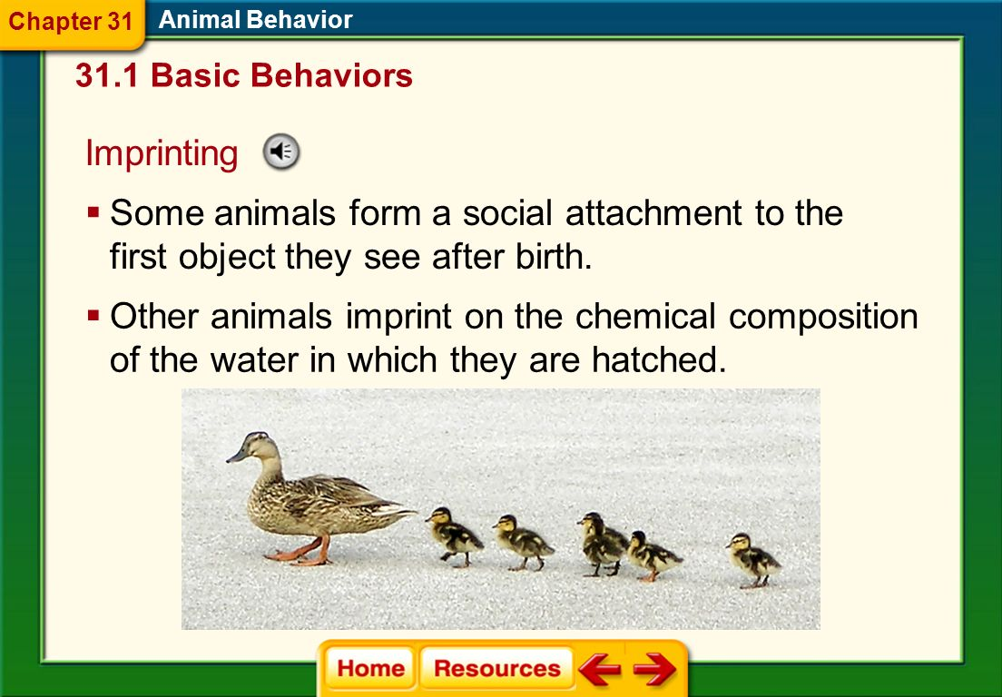 Chapter 31 Animal Behavior. 31.1 Basic Behaviors. Imprinting. Some animals form a social attachment to the first object they see after birth.