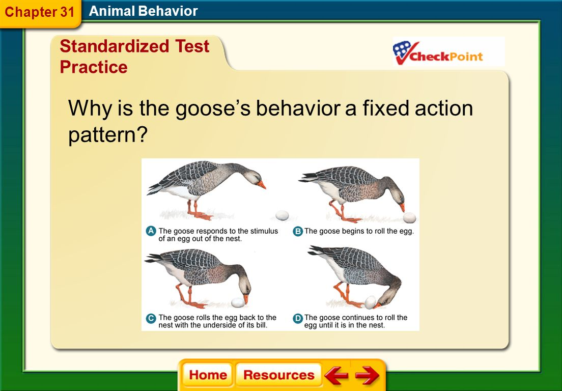 Why is the goose's behavior a fixed action pattern