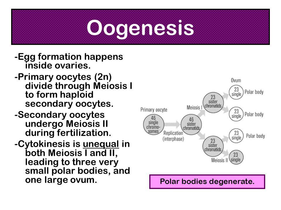 Polar bodies degenerate.