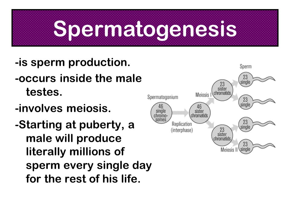 Spermatogenesis -is sperm production. -occurs inside the male testes.