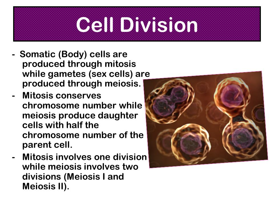 Cell Division - Somatic (Body) cells are produced through mitosis while gametes (sex cells) are produced through meiosis.