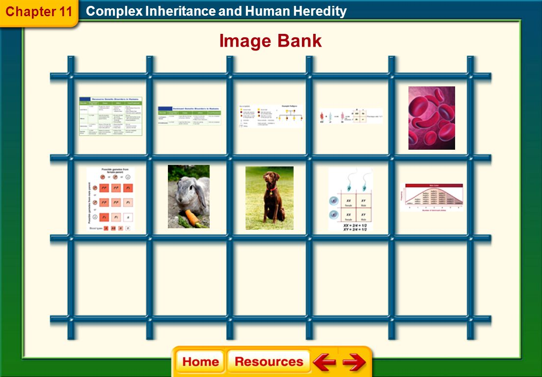 Chapter 11 Complex Inheritance and Human Heredity Image Bank
