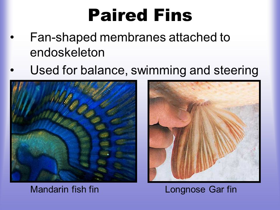 Paired Fins Fan-shaped membranes attached to endoskeleton
