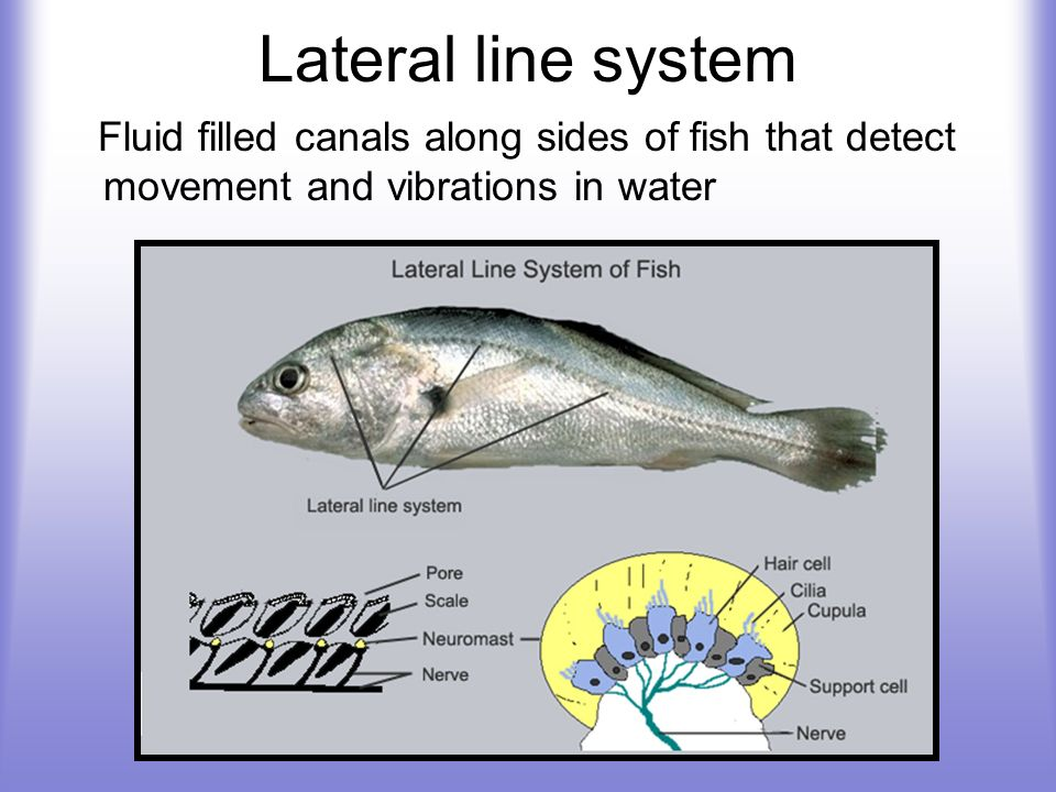 Lateral line system Fluid filled canals along sides of fish that detect movement and vibrations in water.