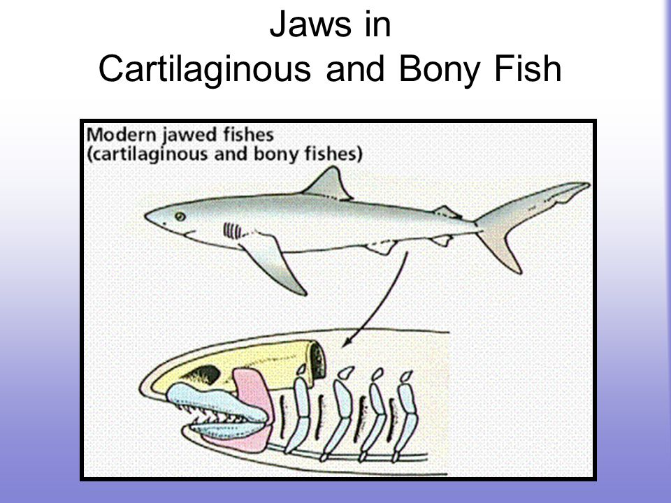 Jaws in Cartilaginous and Bony Fish